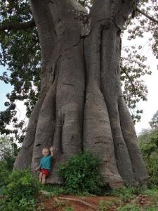pokok besar
